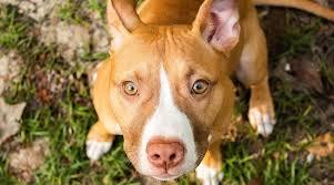 Purebred pitbull puppies for sale near me